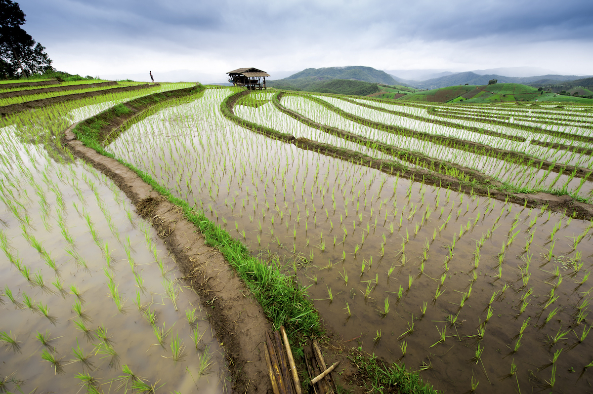 Intrepid Travel Rice Paddy Vietnam
